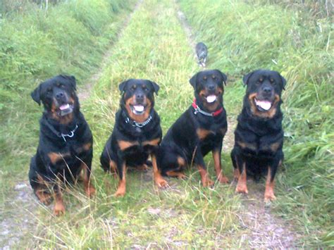 image of a rottweiler image of rottweiler cake ideas and designs