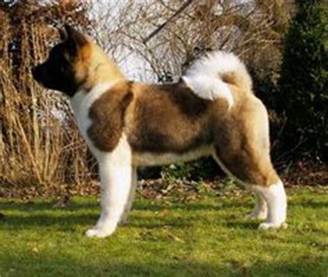when is a not considered a puppy akita insight on akita akita and japanese akita