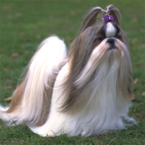 shih tzu apartment best breeds for apartments dwellers american kennel club