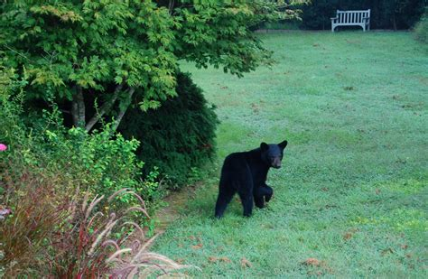 black bear in backyard black bears and backyard food conflicts effective