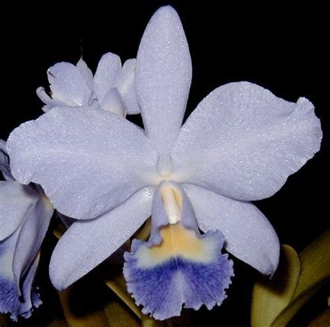 An Ode For Orchids jewell orchids bin blue cattleya joan landsberg orchid