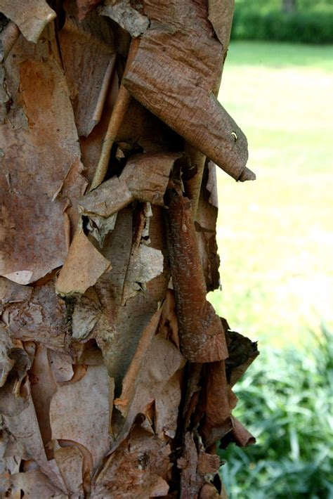 Peeling Bark On Dogwoods Reasons Why Dogwood Tree Bark