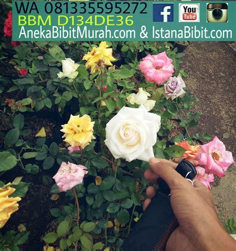 jual bibit bunga mawar  harga grosir jual bibit