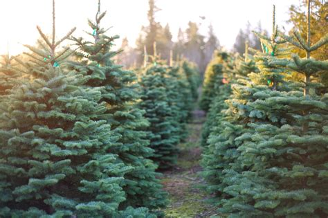 christmas tree farmers strike balance in production