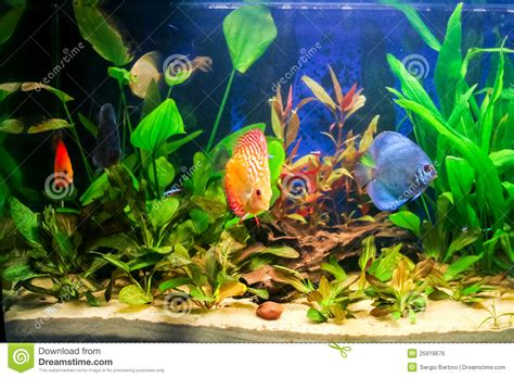 animale da appartamento acuario de agua dulce foto de archivo imagen de acuario