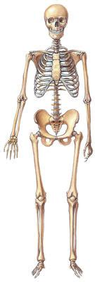 how many bones does a how many bones do we