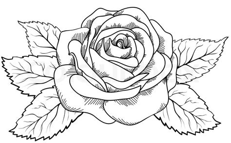 beautiful rose in the style of black and white engraving