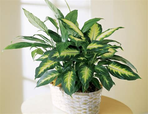 piante da interno resistenti le 15 piante da interno resistenti seconda parte fito