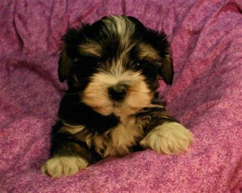havanese health havanese breed 187 information pictures more