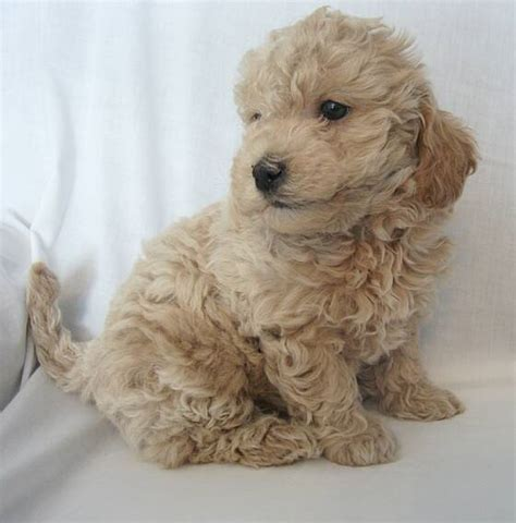 mini goldendoodle puppies mini goldendoodle puppies