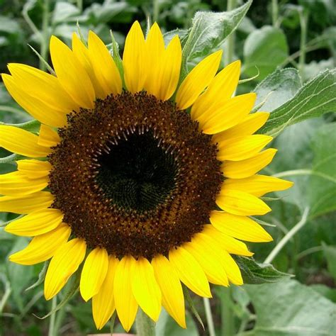 hopi black dye sunflower seeds 12 best n j s janson images on nurseries cut flowers and