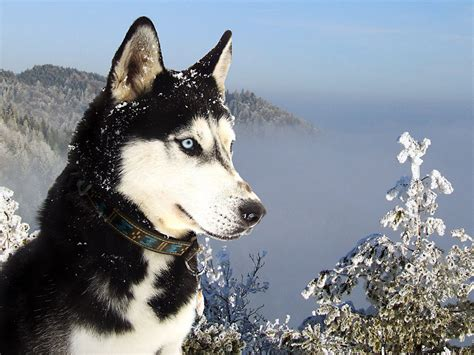 husky wallpaper blue eyes wallpapers siberian husky
