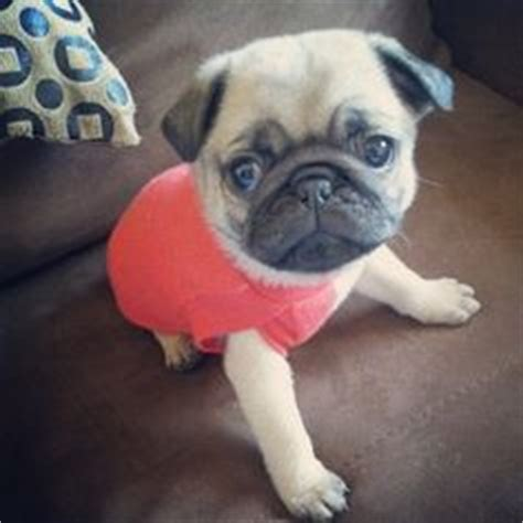 pug puppies in clothes pug dreams on baby pugs pugs and pug puppies