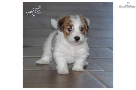 shorty puppies for sale terrier puppy for sale near western slope colorado 0b22dd55 2361