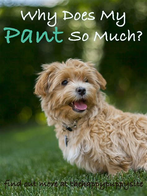 panting a lot why do dogs pant a complete guide to panting