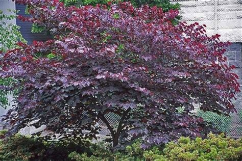 forest pansy redbud cercis canadensis forest pansy from