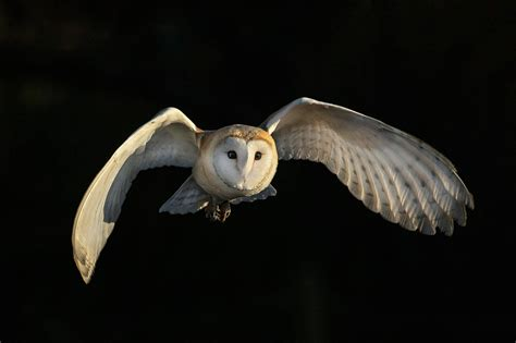 Barn Owl Noise 3d Printing Replicates The Silent Flight Of Owls For Next