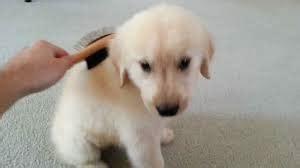 golden retriever habits golden retriever grooming dogs puppies 05 tips waww
