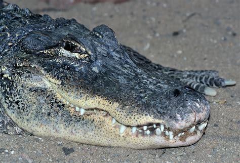 File:Alligator mississippiensis qtl1.jpg - Wikimedia Commons
