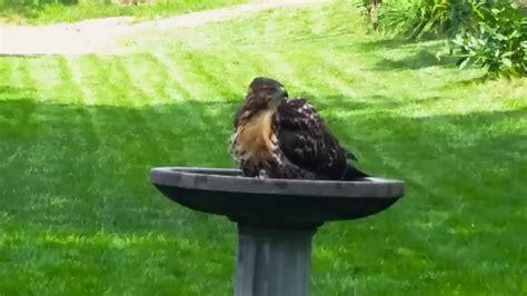 red tailed hawk bird bath in lincoln nebraska youtube