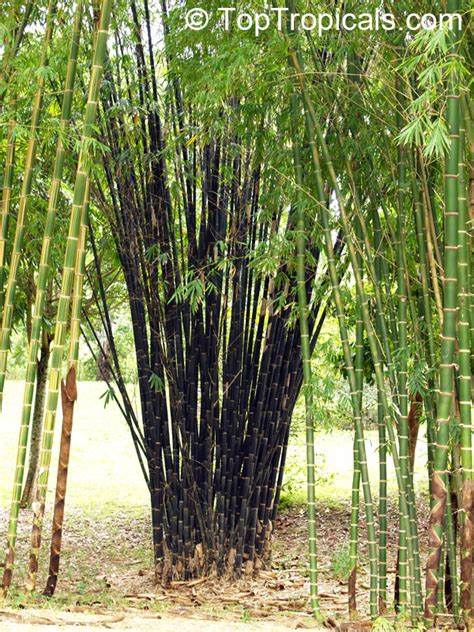 Giant Tropical Plants - bambusa sp common bamboo toptropicals com