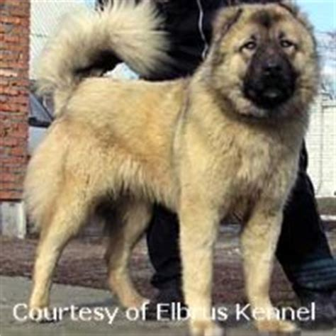 Caucasian Also Search For Caucasian Ovcharka Puppies For Sale