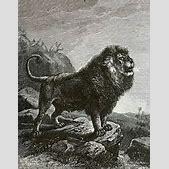 Barbary lion - ...