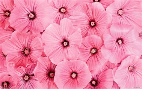 flower wallpaper zip pink flowers backgrounds 183