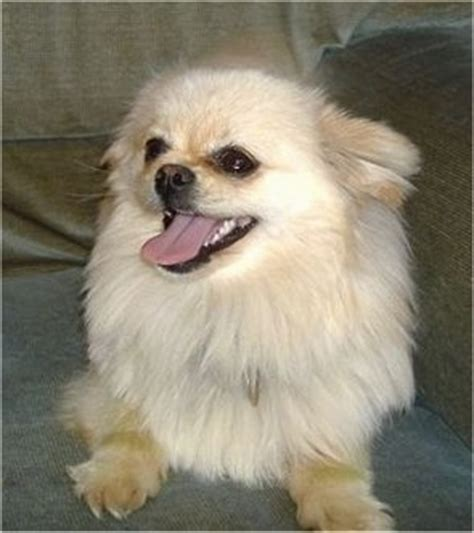 pomeranian panting pomchi breed information and pictures
