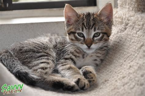 10 Famous Striped Cat Breeds in the World   Tail and Fur