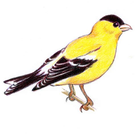 how to draw eastern goldfinch
