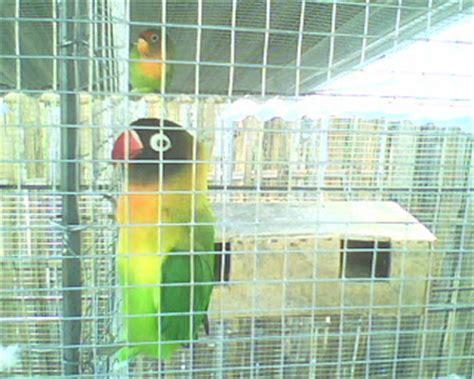 Pesanan Joni 1 joni bird farm jember jual burung berkicau berkualitas