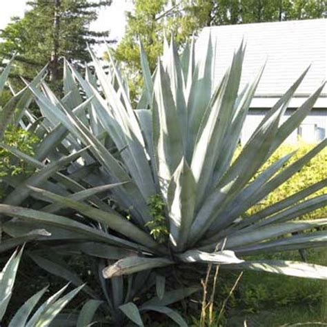 agave americana succulent plant types this old house