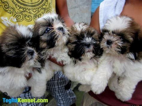 havanese dogs price havanese puppies for sale alisha 1 13916 dogs for sale price of puppies dogspot in