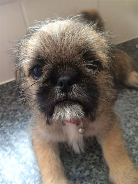 pug tzu for sale pug tzu pups for sale havant hshire pets4homes
