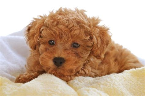 Pictures Of Different Types Of Poodles | types of poodle dog life photo