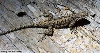 sofa orange county ornate tree lizard urosaurus ornatus reptiles of arizona