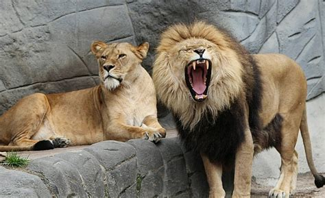 Lions Roar | lion facts for kids interesting lion facts cool kid facts