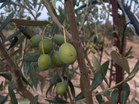 variet di olive da tavola bosana