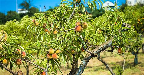 how to grow herbs gardener s path how to grow peach trees gardener s path