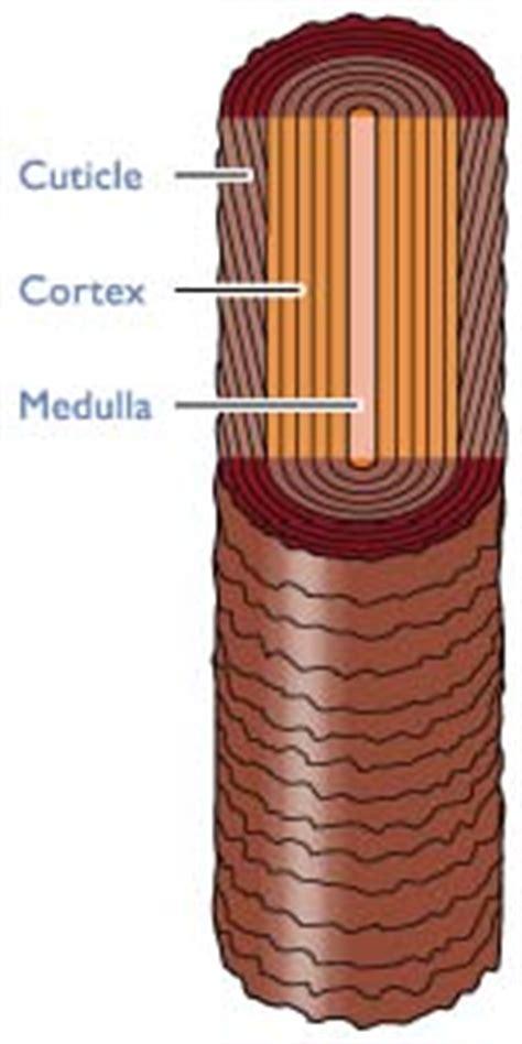 cross section of hair hair clinic repairing damaged hair