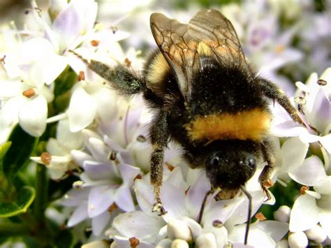 Bumble Bee Facts and Latest Photographs | The Wildlife