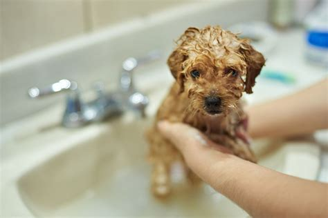 can you bathe a 6 week puppy how to give your puppy or their bath pets4homes