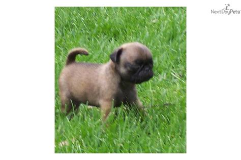 pugs for sale in michigan pug for sale for 395 near kalamazoo michigan 962b9b18 77f1