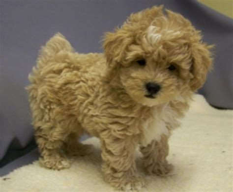 maltese x poodle lifespan shihpoo puppies for sale on island new york 631