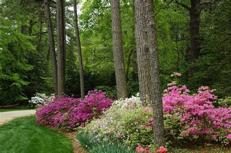 home landscape design with pines azaleas under pines by