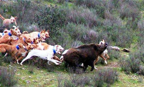 provincia di pavia caccia caccia al cinghiale a pavia il rito e le regole della