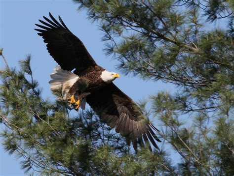 pictures of bald bald eagle poised for upgrade from threatened to protected
