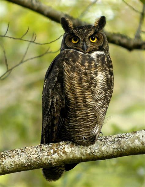 Texas Barn Owls Great Horned Owl Wiktionary