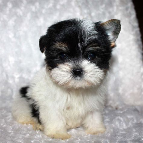 pictures of morkie puppies teacup morkie puppy pictures parti color iheartteacups